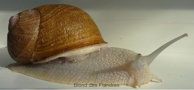 escargot Blond des Flandres